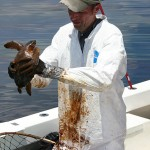 La vie marine est grandement affectée par le déversement de BP. (Phtoto: CC)