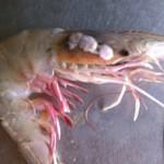 Déformations, mutations et cancers chez crevettes, poissons et crabes, liés au déversement dans le Golfe du Mexique. (Photo: inconnu)